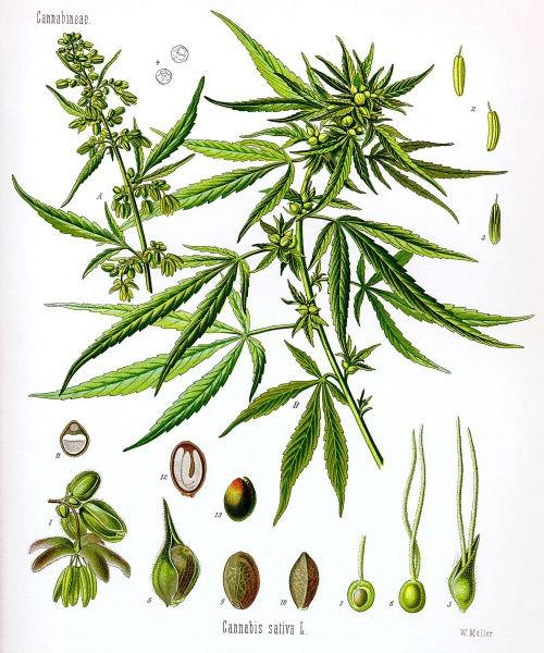 Cannabis sativa - foto preluat de pe ro.wikipedia.org