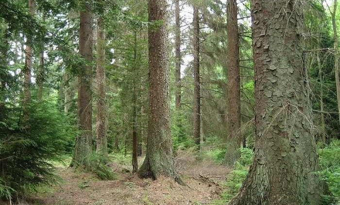 2012_02_15_800px-picea_sitchensis_forest_rsz (1)