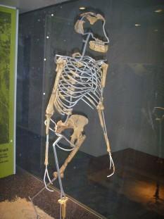 """Australopithecus afarensis (""""Lucy"""") - Descoperit de D. Johanson în 1974, la Hadar, Etiopia. Perioada estimată: aproximativ acum 3,2 milioane de ani. """"Lucy"""" era o femelă adultă, în jur de 25 de ani. Cam 40% din schelet a fost găsit, pelvisul, femurul (osul coapsei) și osul tibial, toate demonstrând mersul biped. Măsura cam 107 cm (mică pentru specia ei) și cântărea în jur de 28 de kg. - foto - Lucy (Frankfurt am Main): ro.wikipedia.org"""