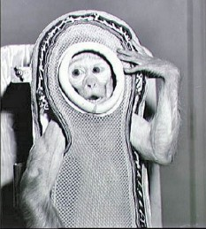 4 decembrie 1959: Maimuța Sam (Macaca mulatta), trimisa in spatiu  cu misiunea Little Joe 2, parte a programului Mercury, desfasurat de NASA - foto:  ro.wikipedia.org