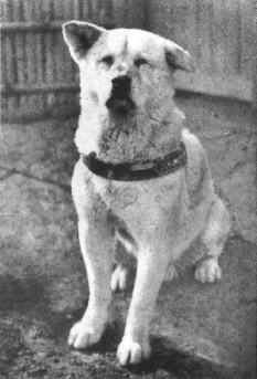 8 martie 1935: La Tokyo este găsit mort pe stradă câinele credincios Hachikō, rămas în memoria umanității pentru devotamentul față de stăpânul său chiar și la mulți ani după decesul acestuia - foto: ro.wikipedia.org