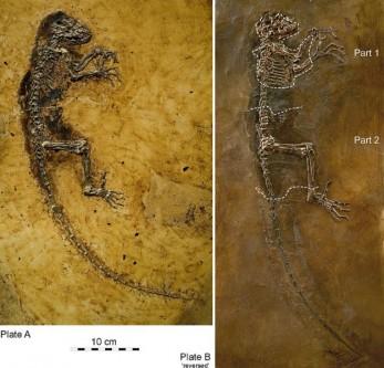 """Darwinius masillae, denumită astfel pentru a celebra bicentenarul Darwin,[1] a fost un mamifer primat din perioada eocenului, care este foarte similar cu un lemurian de astăzi, care a trăit cu circa 47 de milioane de ani în urmă. Deși prezentarea lumii de către o echipă de la Muzeul de istorie naturală a Universităţii din Oslo la 19 mai 2009 a iscat oareceva controverse, Darwinius masillae este considerat o importantă """"veriga lipsă"""" din ramura evoluționară umană - in imagine, Darwinius masillae, fosilă descoperită în 1984 - foto: ro.wikipedia.org"""