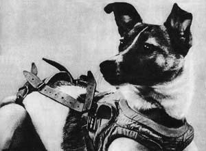 Laika (rusă Лайка, literar însemnând Lătrătorul) a fost un câine din Uniunea Sovietică (n. 1954 — d. 3 noiembrie 1957) care a devenit primul animal lansat în spațiu și prima ființă decedată în afara Pământului - foto: en.wikipedia.org