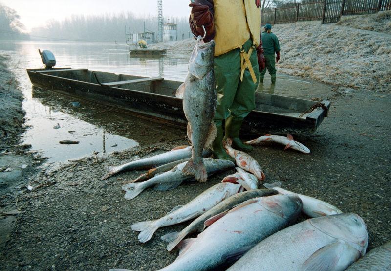 Pești morți in urma scurgerii de cianură de la Baia Mare (30 ianuarie 2000) - foto preluat de pe ro.wikipedia.org
