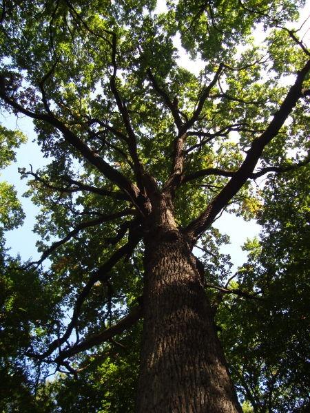 Codrii Cosminului. Stejarul lui Ştefan cel Mare - foto preluat de pe ro.wikipedia.org
